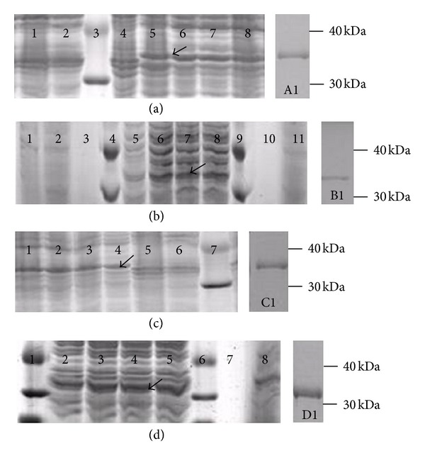 SDS-PAGE analysis of four different recombinant chitinases. (a) Intracellular recombinant chitinase inrCHI31; 1: control transformant BL21-pET52b; 2: control transformant BL21-pET52b induced by 1.0 mM IPTG; 3: protein marker; 4: transformant BL21-inCHI31; 5–8: transformant BL21-inCHI31 induced by 1.0 mM IPTG for 3, 4, 5, and 6 h. (b) Extracellular recombinant chitinase exrCHI31; 1–3: control transformant BL21-pET52b induced by 1.0 mM IPTG for 3, 6, and 0 h; 4, 9: protein marker; 5–8: transformant BL21-exCHI31 induced by IPTG for 3, 4, 5, and 6 h; 10-11: transformant BL21-exCHI31 was not induced. (c) Intracellular recombinant chitinase inrCHI32; 1–5: transformant BL21-inCHI32 induced by 1.0 mM IPTG for 6, 5, 4, 3, and 0 h; 6: control transformant BL21-pET52b induced by 1.0 mM IPTG for 5 h; 7: protein marker. (d) Extracellular recombinant chitinase exrCHI32. 1: protein marker; 2–5: transformant BL21-exCHI32 induced by 1.0 mM IPTG for 3, 4, 5, and 6 h; 6: protein marker; 7, 8: control transformant BL21-pET52b induced for 0 and 3 h at 30°C.