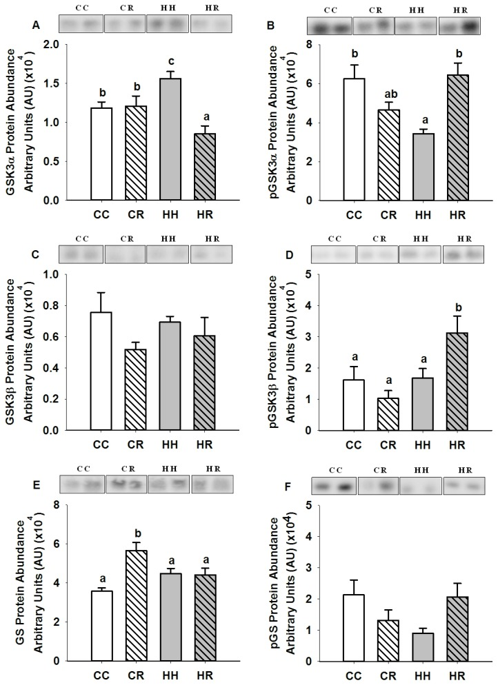 Skeletal muscle GSK3α, Ser 21 phospho-GSK3α, GSK3β, Ser 9 phospho-GSK3β, GS and Ser 641 phospho-GS protein abundance in four month old lambs of normal weight ewes (CC), normal weight ewes put on a dietary restriction regime for one month before and one week after conception (CR), overnourished, obese ewes (HH) and obese ewes put on a dietary restriction regime for one month before and one week after conception (HR). Different superscripts denote mean values that are significantly different. n =6 lambs, CC, 2 males, 3 females; CR, HH HR, 3 males, 3 females. All data are mean ± s.e.m.