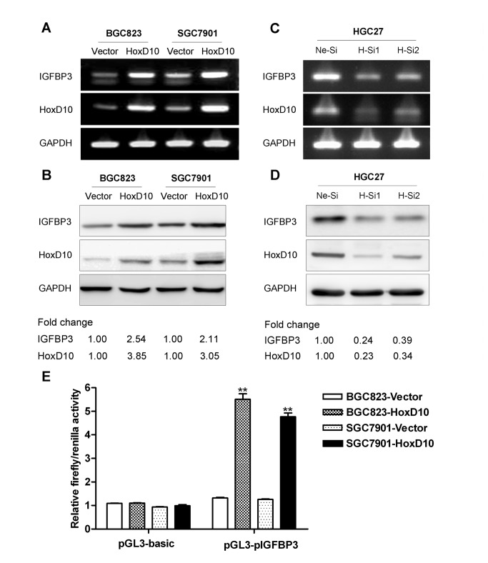 The expression of IGFBP3 is regulated by HoxD10 in human gastric cancer cells. The expression of IGFBP3 was detected by conventional RT-PCR ( A , C ) and Western blotting ( B , D ) after transfected with pcDNA3.1 empty vector or pcDNA3.1-HoxD10 in BGC823 and SGC7901 cells, and negative control siRNA (Ne-Si) or two of HoxD10 siRNA (H-Si1 and H-Si2) in HGC27 cells. GAPDH was used as internal control. Densitometry values are expressed as fold change compared with pCDNA3.1 vector or negative control siRNA values normalized to 1. ( E ) BGC823 and SGC7901 were co-transfected with pcDNA3.1 empty vector or pcDNA3.1-HoxD10, pGL3-basic vector or pGL3-(pIGFBP3)-basic and pRL-TK vector. Relative firefly activity was expressed normalized to renilla activity in pRL-TK vector. All experiments were performed in triplicate. ** indicates of p