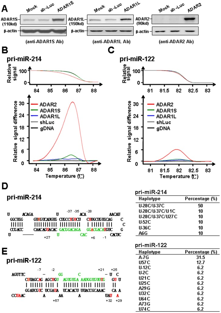 "Specific editing of the RNA transcripts related with pri-miR-214 and pri-miR-122 in Huh-7 cells infected with lenti-ADAR2 lentiviruses. ( A ) The cells were uninfected (mock), infected with lenti-sh-luc (negative control), or infected with the lenti-ADAR1S, ADAR1L, and ADAR2 individually. The cell lysates were processed for Western blotting by probing with Abs as indicated at the bottom of each panel. The HRM results for miR-214 ( B ) and miR-122 ( C ). The raw data for the relative signals are shown in the upper panel; and the difference of the relative signal by comparing with the ""no editing"" standard are shown in the lower panel. The stem loop structures for pre-miR-214 ( D ) and pre-miR-122 ( E ) are illustrated schematically, with the nucleotides corresponding to mature miRs labeled with green. The positions of the nucleotides changed by overexpression of ADAR2 are marked in red, with the numbers showing their positions relative to the first nucleotide of mature miRs (as position no. 1). The summary results of the nucleotide changes in precursors of these two miRNAs are shown at the right panel, by sequencing of 100 clones from TA cloning of the RT–PCR products amplified by the RNA from lenti-ADAR2 infected cells."