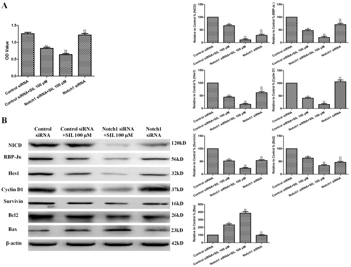 Effects of combined SIL treatment and Notch1 siRNA transfection on cell viability and Notch1 signaling in HCC cells. A. Viability is expressed as OD values. B. Representative Western blot results are shown. The results are expressed as the means ± SEM, n = 6. aa P