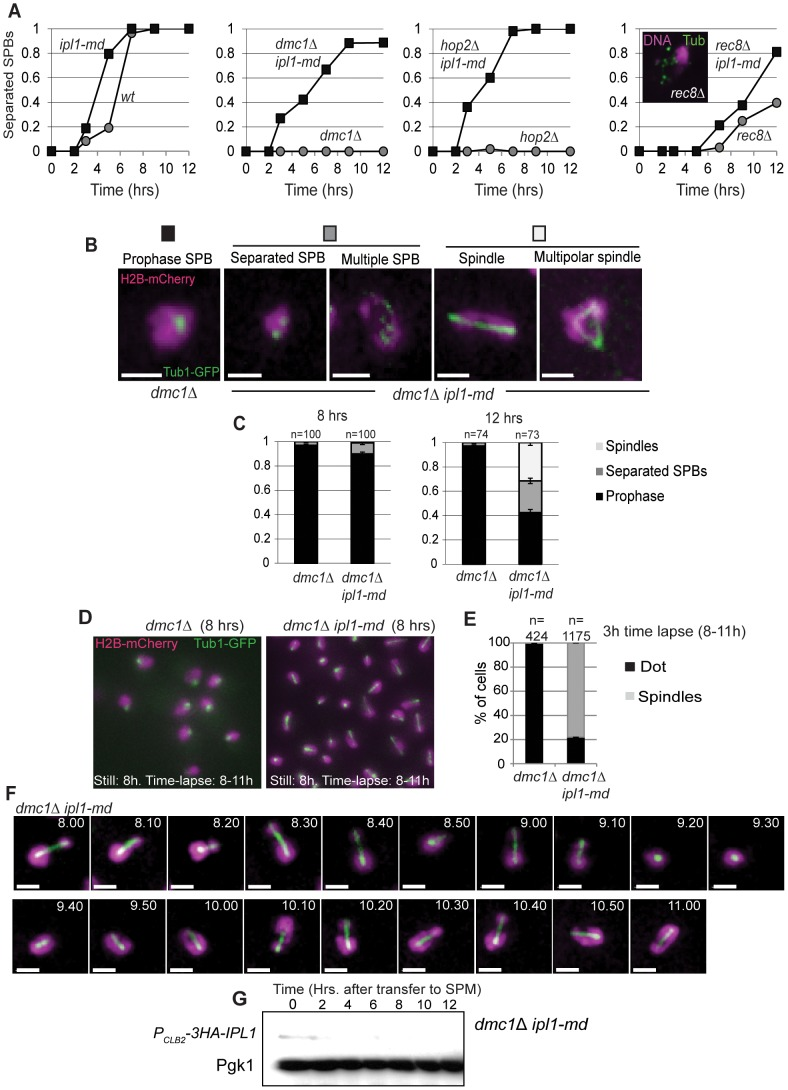 Ipl1 prevents formation of spindles in DDR-arrested cells. (A) Proportion of cells with separated spindle-pole bodies as a function of time. Strains: Wild type (Y940), ipl1-md (Y1206), dmc1 Δ (Y2266), ipl1-md dmc1 Δ (Y2268), hop2 Δ (Y2489), hop2 Δ ip1-mn (Y2491) rec8 Δ (Y2404), rec8 Δ ipl1-md (Y2457). Three independent diploids were assessed, a representative time course is shown for each strain. (B, C) <t>Tubulin</t> configurations observed in dmc1 Δ ipl1-md mutants and their prevalence (C). (D) Representative examples of spindle configurations from a single frame (maximum intensity projection) from time lapse imaging in dmc1 Δ and dmc1 Δ ipl1-md mutants. (E) The cumulative proportion of cells that formed spindles during the three hours of time-lapse imaging (8–11 h). (F) Representative example dynamic behaviour of tubulin (Tub1-GFP) and DNA (H2B-mCherry) during time-lapse imaging of the dmc1 Δ ipl1-md mutant. (G) Western blot showing that Ipl1 is efficiently depleted in dmc1 Δ ipl1-md cells.