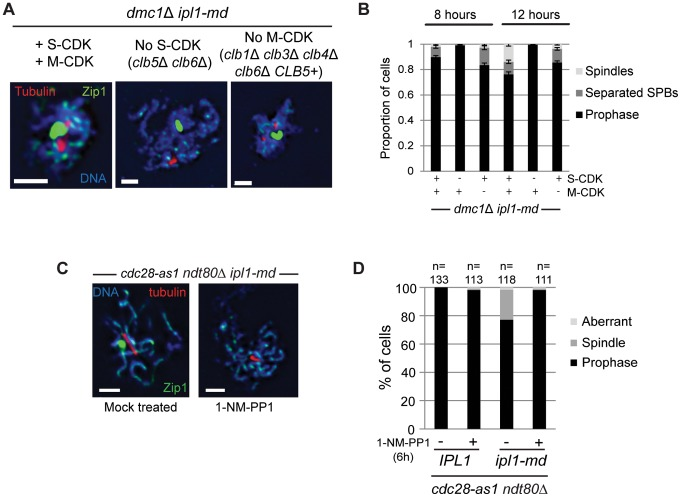 S-CDK is required and sufficient to drive SPB separation and spindle formation during prophase I in ipl1-md cells. (A)Images for tubulin and Zip1 staining in dmc1 Δ ipl1-md strains with normal S-CDK and M-CDK (left image), lacking S-CDK activity ( clb5 Δ clb6 Δ; middle image), or without M-CDK proficient for Clb5 only ( clb1 Δ, clb3 Δ, clb4 Δ, clb6 Δ CLB5 + ; right panel). Strains: Y4495, Y4435, and Y4496, respectively. Bars, 2 µm. (B) Quantification on the proportion of fixed cells with spindles and separated SPBs at 8 hours and 12 hours. (C, D) ipl1-md ndt80 Δ cdc28-as1 (Y2577) cells were treated with either 50 µM 1-NM-PP1 (+) or solvent only (DMSO) (−) to inhibit Cdc28/CDK kinase activity at 6 hours, when spindles have formed in at least 20% of ipl1-md ndt80 Δ cells. Examples of spread, meiotic nuclei are shown to the left. Note that there was no effect on inhibiting Cdc28-as1 in ndt80 Δ alone bars, 2 µm. The graph shows that Quantification of prophase spreads with spindles or aberrant spindle pole structures ( e.g. multipolar spindles).