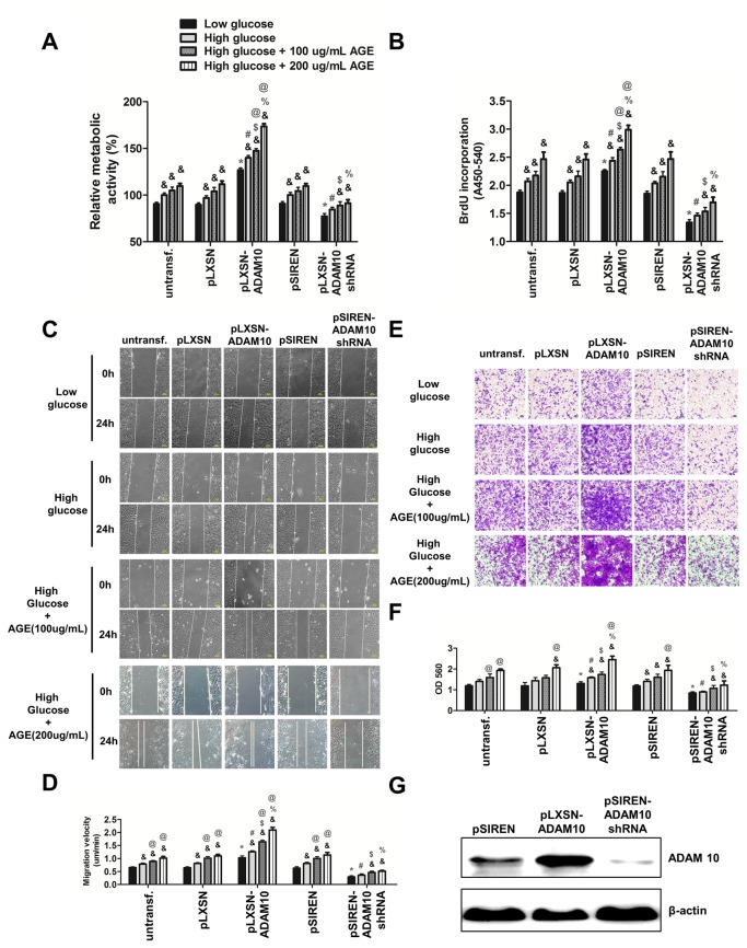 Overexpression of ADAM10 promotes proliferation and migration of HASMCs in low glucose, high glucose and high glucose medium with addition of AGE-BSA (100 and 200 µg/ml). A , vector-transduced, ADAM10-overexpressing and ADAM10-silenced HASMCs were generated by retrovirus-mediated gene transfer and selection. These HASMCs were grown in low glucose, high glucose and high glucose with addition of AGE-BSA (100 and 200 ug/ml). MTT assay was performed to test the cell viability. *P