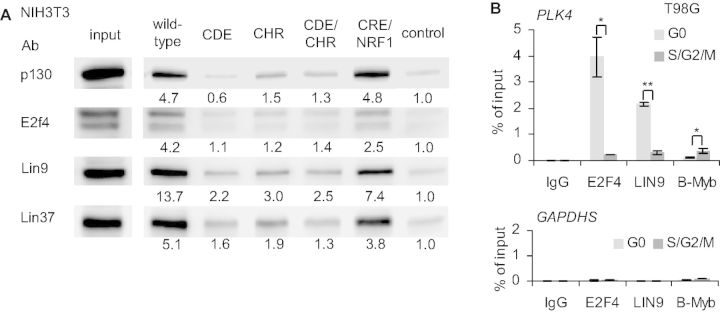 The DREAM complex components bind through the CDE and CHR and not through NRF1 or CRE sites to the Plk4 promoter. ( A ) Nuclear extracts from density-arrested NIH3T3 cells were analyzed by DNA affinity purification with wt, CRE/NRF1, CDE or CHR mutant Plk4 promoter probes followed by western blot. An irrelevant segment from the pGL4.10 vector served as negative control. Band intensities were quantified by densitometric analyses. The intensities relative to the control are given below the bands. ( B ) In vivo protein binding to the Plk4 promoter in serum-starved and restimulated T98G cells was tested by ChIP.