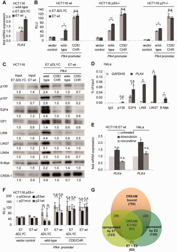 Deregulation of PLK4 expression after expression of HPV-16 E7 depends on loss of DREAM binding to the CDE and CHR elements. ( A ) <t>HCT116</t> wt and HCT116 stably transfected with a plasmid encoding HPV-16 E7 wt or its ΔDLYC mutant. Relative expression of PLK4 mRNA was quantified by RT-PCR and normalized to U6 RNA levels. ( B ) Luciferase reporter assays from lysates of HCT116 wt; p53 −/− or p21 −/− cells transfected with plasmids expressing wt or CDE/CHR mutant Plk4 promoter constructs. Plasmids expressing HPV-16 E7 wt or its ΔDLYC mutant were cotransfected. Results are given as relative light units. ( C ) Nuclear extracts from HCT116 E7 wt and E7 ΔDLYC cells were analyzed by DNA affinity purification with wt and CDE/CHR mutant Plk4 promoter probes followed by western blot. Band intensities were quantified by densitometric analyses. Relative intensities are given below the bands. Intensities of input bands were normalized to E7 ΔDLYC. Binding intensities to Plk4 promoters were normalized to CDE/CHR mutant probes from E7 ΔDLYC extracts. ( D ) Protein binding to the PLK4 promoter in <t>HeLa</t> cells was assessed by ChIP. Protein binding to the GAPDHS promoter served as a negative control. ( E ) HCT116 E7 wt and HeLa cells were treated with doxorubicin and roscovitine for 24 h. Cells without treatment served as control. Relative expression of PLK4 mRNA was quantified by RT-PCR and normalized to U6 RNA levels. ( F ) Luciferase reporter assays with wt and CDE/CHR mutant Plk4 promoter reporter constructs in HCT116 p53 −/− cells. Cells were cotransfected with p53mut, p53wt, p21mut or p21wt expression vectors and HPV-16 E7 wt or ΔDLYC mutant. Results are given as relative light units. ( G ) Venn diagram from DREAM-bound genes ( 12 , 15 ), genes upregulated by HPV E7 ( 64 ) and genes downregulated by HPV E2 proteins repressing E7 ( 65 , 66 ).