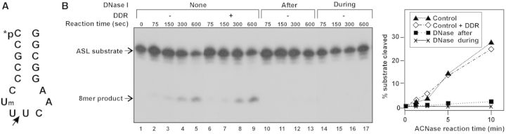 Gka RloC's ACNase activity is sustained by the activating DNA. ( A ) The 5′- 32- P labelled ACNase substrate 7-2'-Om-Glu-ASL. ( B ) Gka RloC's ACNase was activated for 20 min in the presence of ATP and DNA followed by further pre-incubation with DNase buffer (lanes 1–5), or DNase I buffer containing purified oligonucleotides formed by a DNase I digestion of an activating DNA dose (lanes 6–9) or DNase I (lanes 10–13). In lanes 14–17 DNase I was included in the activation mixture. ACNase activity was subsequently assayed as detailed in 'Materials and Methods' section. DDR, DNase-I digest residue; After or During, DNase I added after the activation or during the activation, respectively; ASL, [5′- 32 P]7-2'-Om-Glu-ASL; 8mer, labelled cleavage product.