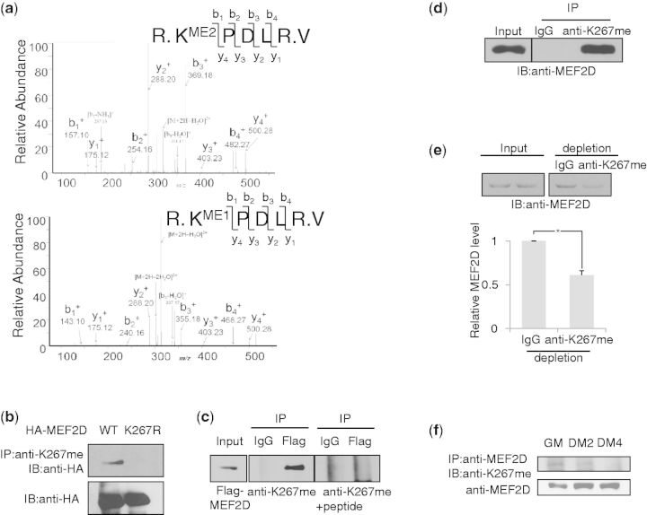 MEF2 methylation decreases during C2C12 cell differentiation. ( a ) <t>HA-MEF2D,</t> transiently expressed in HEK293 cells, was immunoprecipitated with anti-methylated K267 MEF2D (anti-K267me) and subjected to <t>ESI-LC-MS</t> analysis. Dimethylation (upper panel) and monomethylation (lower panel) of MEF2D were detected. ( b ) Transiently expressed HA-MEF2D wild-type (WT) or K267R mutant (K267R) was immunoprecipitated with anti-K267me, followed by immunoblotting with anti-HA. ( c ) Transiently expressed Flag-MEF2D (WT) was immunoprecipitated with anti-Flag, followed by immunoblotting with anti-K267me with or without chemically methylated K267 containing peptide blocking. ( d ) Endogenous MEF2D was immunoprecipitated from C2C12 cells with anti-K267me and immunoblotted with anti-MEF2D. ( e ) C2C12 whole-cell lysates were immunoprecipitated with anti-K267me or IgG. Supernatants of immunodepleted C2C12 cell lysates were analyzed by immunoblotting with anti-MEF2D (upper panel). Quantification of MEF2D after normalization to input (lower panel). ( f ) C2C12 cells, differentiated for up to 4 days, were immunoprecipitated with anti-MEF2D and western blotted with anti-K267me (GM, DM2, DM4; DM for 2 or 4 days).
