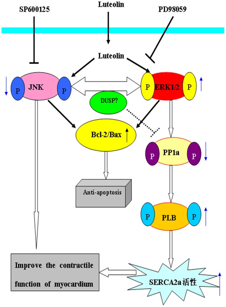 The possible mechanisms of luteolin exerting its protective effects on myocardium following I/R injury. Pretreatment with luteolin and SP600125 can deregulate the expression of p-JNK, upregulate the expression of p-ERK following I/R, which can result in cells apoptosis were inhibited and contractile function of myocardium was improved. Pretreatment with luteolin can also decrease the expression of SERCA2a via ERK1/2-PP1a-PLB pathway. The effect of luteolin was almost completely abolished by pretreatment PD98059 before it.