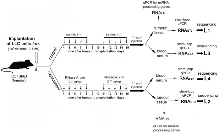 Scheme of the experiment for cDNA library preparation. Mice with intramuscularly (i.m.) implanted LLC were treated with saline or RNase A at a dose of 0.7 µg/kg for 10 days starting on the 4 th day after tumour transplantation. At 1 h after the last injection, tumour tissue and blood serum samples were collected and pooled according to groups, and long and short RNA fractions were isolated. Long RNA fractions RNA LTc and RNA LTR were used for qPCR for the evaluation of the expression levels of miRNA processing genes. Short tumour-derived (RNA STc and RNA STR ) and serum-derived (RNA SSc and RNA SSR ) RNA fractions were used for the preparation of cDNA libraries and subsequent sequencing on the SOLiD™ ABA 3.5 platform and for stem-loop qPCR.