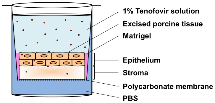 Schematic of Transwell assay for measuring Tenofovir transport into and through an excised tissue specimen. Circular porcine buccal tissue specimens were maintained in Transwell supports, under which was a bath of PBS to hydrate the tissue. Matrigel was used to create a gelatinous seal around tissue edges to prevent leakage. An isotonic solution of 1% Tenofovir in PBS was applied to the apical surface. The assay was maintained at 37°C and 5% CO 2 in a <t>Heracell</t> incubator for 30 min to 6 h.