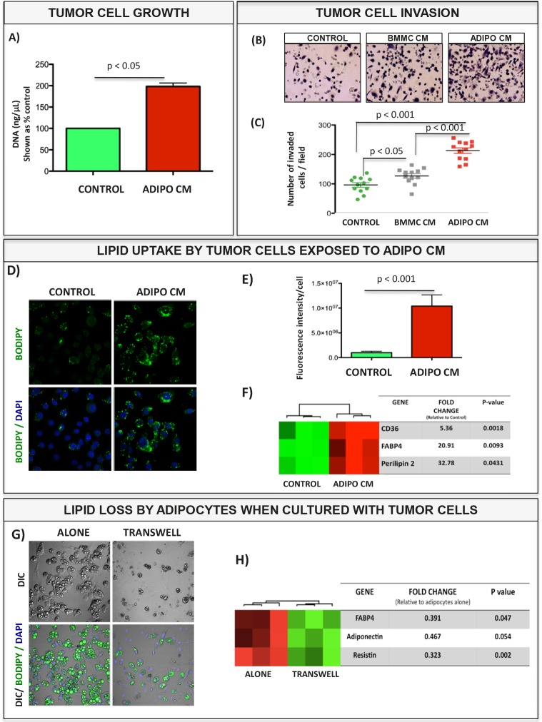 Bone marrow adipocyte-supplied lipids stimulate proliferation and invasion of prostate tumor cells and upregulate genes involved in fatty acid transport A: DNA assay results for cells grown in collagen I gels in the absence or presence of Adipo CM. B: Images of invasion filters coated with reconstituted basement membrane; cells in the absence (Control) or presence of media conditioned by Bone Marrow Mesenchymal cells (BMMC CM) or adipocytes (Adipo CM) were allowed to invade toward DMEM containing 10% FBS for 48 hours C: Quantitation results of invaded cells shown as % control ± SD. D: BODIPY 493/503 staining of lipid droplets (green) for control and Adipo CM-treated PC3 cells. E: Quantitation of lipid fluorescence (Metamorph). F: Taqman RT-PCR analysis (Life Technologies) of lipid droplet-associated genes: CD36, FABP4 and Perilipin 2 expression in PC3 cells +/− Adipo CM. Data are normalized to 18S. G: BODIPY 493/503 staining of lipid droplets (green) in adipocytes cultured alone (left panels) or in transwell with PC3 cells (right panels). H: Taqman RT-PCR analysis (Life Technologies) of adipocyte-specific gene (FABP4, Adiponectin and Resistin expression) in bone marrow adipocytes cultured alone or in transwell with PC3 cells. Data are normalized to HPRT1.