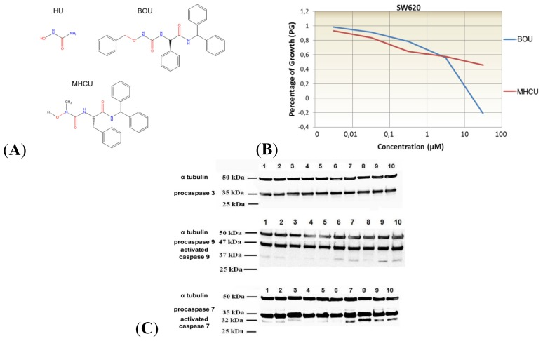 ( A ) Hydroxyurea (HU) and its derivatives N ′-benzyloxycarbamoyl- d- phenylglycine benzhydrylamide (BOU) and N ′-methyl- N ′-hydroxycarbamoyl- l- phenylalanine benzhydrylamide (MHCU); ( B ) Concentration-dependent antiproliferative effect of BOU and MHCU on the SW620 cell line. Marginal means of survival were estimated as percentages of growth (PG); ( C ) Representative blots of SW620 cells treated with BOU and MHCU, probed with antibodies against human procaspase-3, procaspase-7 and procaspase-9. Treatments are as follows: 1 : control 24 h, 2 : BOU at 1 μM 24 h, 3 : BOU at 50 μM after 24 h, 4 : MHCU at 1 μM after 24 h, 5 : MHCU at 50 μM after 24 h, 6 : control after 72 h, 7 : BOU at 1 μM after 72 h, 8 : BOU at 50 μM after 72 h, 9 : MHCU at 1 μM after 72 h, 10 : MHCU at 50 μM after 72 h.