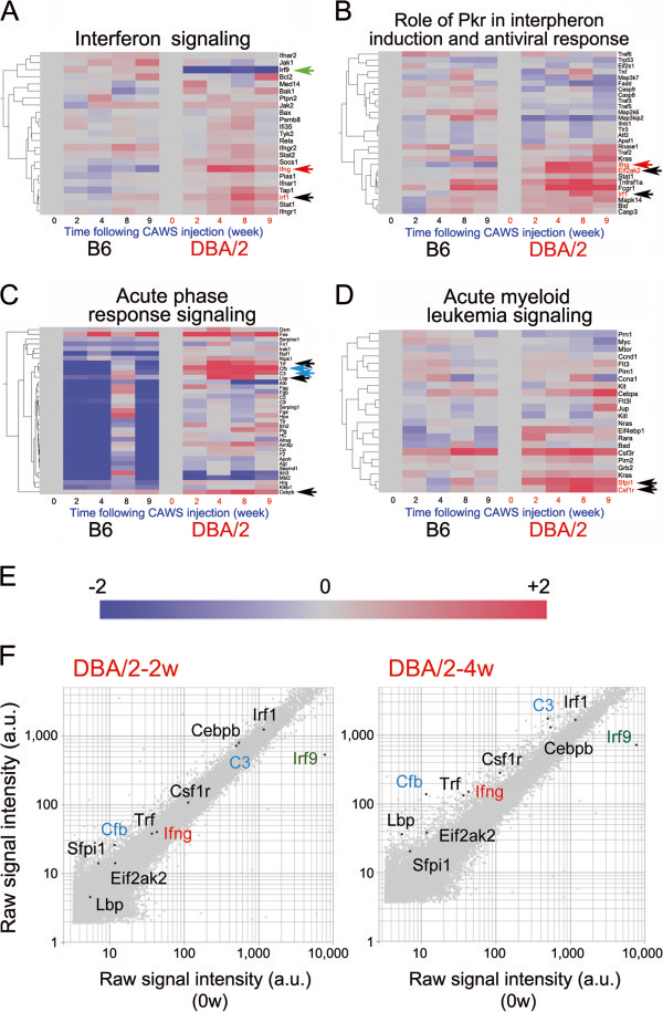 Expression profiling of the microarray data for genes involved in interferon-related signal transduction pathways following administration of CAWS to B6 and DBA/2 mice. Mosaic tiles and hierarchical clustering of microarray data are shown for the genes involved in interferon signaling (A) , the role of protein kinase R (Pkr) in interferon induction and antiviral response (B) , acute phase response signaling (C) , and acute myeloid leukemia signaling (D) . B6 and DBA/2 samples were clustered using a hierarchical clustering program (Spearman) to discover gene-to-gene relationships. Irf1, Eif2ak2, Trl, Lbp, Cebpb, Sfpil1, and Csf1r are highlighted by black arrows, Cfb and C3 by turquoise, Ifng by red and Irf9 by green arrows. (E) Intensity gradients indicate the mean value of the expression level (log2 ratio): blue (down-regulation) and crimson (upregulation) are shown compared to the average value at 0 w after CAWS administration (gray). (F) Scatter plots of the highlighted genes in log of signal intensity at 2 w (left panel) or 4 w (right panel) versus 0 w following CAWS administration in DBA/2 mice; data are plotted along the vertical and horizontal axes (arbitrary unit: a.u.), respectively. Highlighted genes are Ifng (red font), C3 (turquoise font), Cfb (turquoise font), and Irf9 (green font).