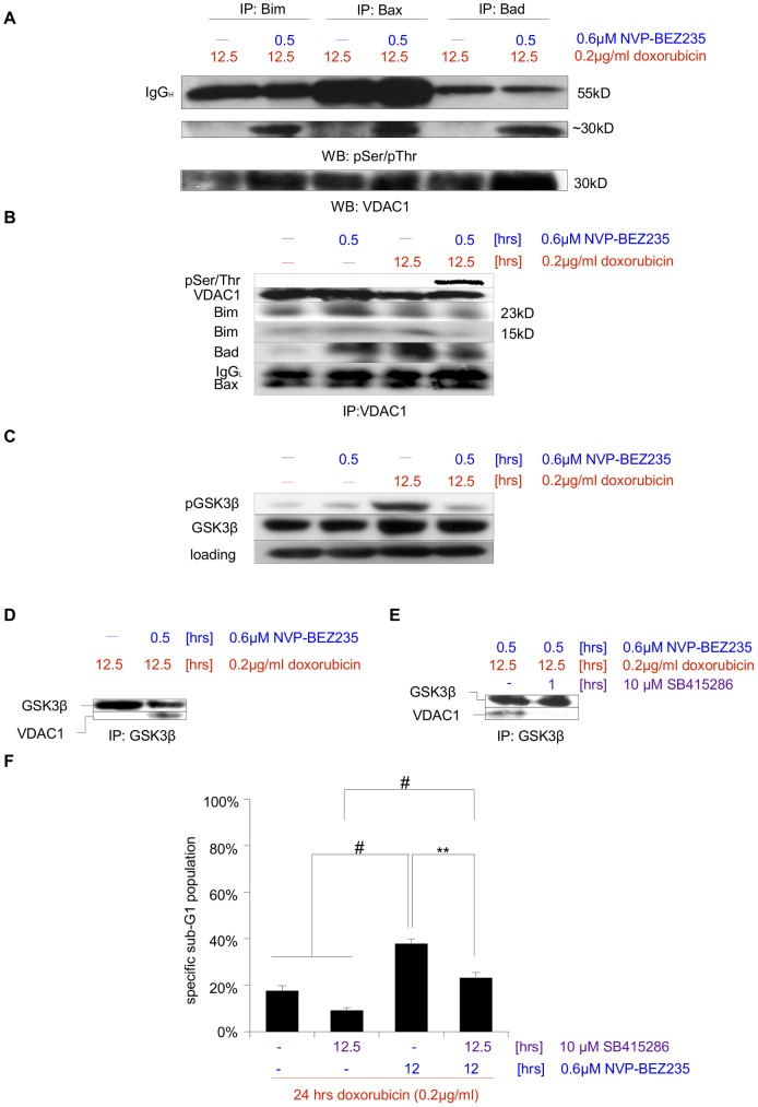 Sensitization for doxorubicin-induced apoptosis via posttreatment with NVP-BEZ235 is mediated via VDAC1. A SHEP NB cells were treated for 12.5-BEZ235 for the last 0.5 hr. Either Bim, Bax or Bad was then immunoprecipitated and interaction partners that are phosphorylated on Serine or Threonine were visualized by Western blot analysis. A ∼30 kD protein, the presence of which appears to depend on NVP-BEZ235 addition, was identified as VDAC by VDAC1/Porin-specific antibody. IgG H – heavy chain. B Cells were left untreated, treated for 12.5 hrs with Doxorubicin, or after 12 hrs for 0.5 hr with NVP-BEZ235, or a combination of both (first 12 hrs with Doxorubicin alone, followed by the addition of NVP-BEZ235 for 0.5 hr). VDAC was immunoprecipitated and its phosphorylation status was probed. IgG L – light chain. C Cells were left untreated, treated for 12.5 hrs with doxorubicin, or after 12 hrs for 0.5 hr with NVP-BEZ235, or a combination of both (first 12 hrs with doxorubicin alone, followed by the addition of NVP-BEZ235 for 0.5 hr). Protein expression levels and phosphorylation status of GSK3β were analyzed by Western blotting, GAPDH served as loading control. D Cells were treated either for 12.5 hrs with doxorubicin, or a combination of doxorubicin and NVP-BEZ235, (first 12 hrs with doxorubicin alone, followed by the addition of NVP-BEZ235 for 0.5 hr). This was followed by immunoprecipitation of GSK3β and analysis of this protein's interaction with VDAC via immunoblotting. E Cells were again treated with a combination of doxorubicin and NVP-BEZ235, (first 12 hrs with doxorubicin alone, followed by the addition of NVP-BEZ235 for 0.5 hr), during the last hour in the absence or presence of the GSK3β-specific inhibitor SB415286. This was followed by immunoprecipitation of GSK3β and analysis of this protein's interaction with VDAC. F Apoptosis in cells treated for 24 hrs with doxorubicin, for 12.5 hrs with SB415286, for 12 hrs with NVP-BEZ235, or a combination of those substances was determined by FACS analysis of the DNA fragmentation of propidium iodide-stained nuclei, and percentage of specific DNA fragmentation is shown. Shown in A to E are representative blots of at least two independent experiments, in F the mean+s.e.m. of three independent experiments performed in triplicate is depicted. Statistical analysis was carried out by two-sided Student's t -test; * P-value