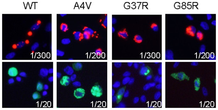 Mutant SOD1 fused to either RFP or YFP forms inclusions with similar morphologies. CHO cells were transiently transfected with vectors to expression WT and ALS-associated variants (A4V, G37R, G85R). After 24 hours, the cells were fixed in paraformaldehyde and imaged. The exposure times are noted on the images. WT-hSOD1:RFP produces round, well defined inclusions. WT-hSOD1:YFP diffusely fills the cytosol (rounded cell in the image shown). Mutant SOD1 fused to either RFP or YFP form variegated perinuclear inclusions. The images shown are representative of 3 independent transfection experiments, analyzing between 200 and 1,000 individual cells.
