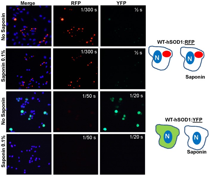 Inclusions formed by WT-hSOD1:RFP are not released by saponin. CHO cells were transiently transfected with expression vectors for the two SOD1 constructs shown. After 24-hSOD1:YFP is fully releasable by saponin treatment whereas WT-hSOD1:RFP remained cell-associated. The images shown are representative of 3 independent transfection experiments, analyzing between 200 and 1,000 individual cells.