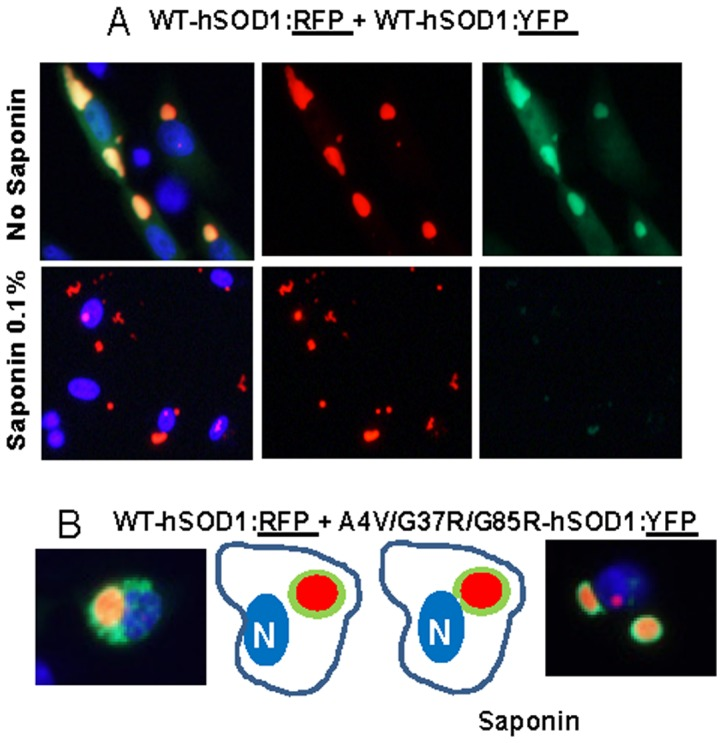 Co-expression of WT-hSOD1:RFP with WT and mutant SOD1 fused to YFP. CHO cells were transiently transfected with expression vectors for the SOD1 constructs shown. After 24-hSOD1:RFP forms well defined round inclusions that are not released by saponin. Co-expressed WT-hSOD1:YFP appears to be closely associated with these inclusions, but after saponin this protein is released whereas the WT-hSOD1:RFP remains cell associated. B, Mutant SOD1:YFP appears to be more tightly bound to the surface of inclusions formed by WT-hSOD1:RFP. At least three independent transfection experiments were performed and between 200 and 1,000 individual cells were analyzed in compiling these data.