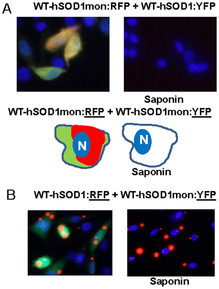 Co-expression of WT-hSOD1mon:RFP with WT-hSOD1 and WT-hSOD1mon fused to YFP. CHO cells were transiently transfected with expression vectors for the SOD1 constructs shown. After 24-expression of WT-hSOD1:RFP with either WT-hSOD1:YFP or WT-hSOD1mon:YFP does not produce inclusions; all proteins remain soluble in saponin. B, WT-hSOD1:RFP co-expressed with WT-hSOD1mon:YFP demonstrates a lack of tight binding between these proteins. At least three independent transfection experiments were performed and between 200 and 1,000 individual cells were analyzed in compiling these data.