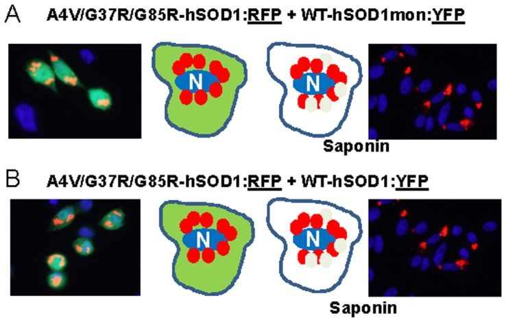 Co-expression of mutant hSOD1:RFP with WT-hSOD1mon:YFP or WT-hSOD1:YFP. CHO cells were transiently transfected with expression vectors for the SOD1 constructs shown. After 24:RFP produces inclusions that only weakly bind WT-hSOD1mon:YFP or WT-hSOD1:YFP. At least three independent transfection experiments were performed and between 200 and 1,000 individual cells were analyzed in compiling these data.