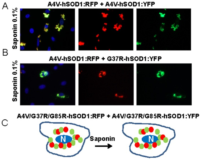 Co-expression of mutant hSOD1 fused to <t>RFP</t> with mutant hSOD1 fused to YFP. In a matrix approach, all possible combinations for the 6 fusion constructs of mutant <t>SOD1</t> fused to RFP or YFP were examined. In all cases, inclusions contained both proteins in saponin-resistant aggregates. At least three independent transfection experiments were performed and between 200 and 1,000 individual cells were analyzed in compiling these data.