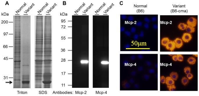 Identification of markedly increased expressions of Mcp-2 and Mcp-4 in BMMCs from a subpopulation of JAK2V617F transgenic mice. A. Detection of a predominant protein band in cell extracts of BMMCs from a variant line of mice. BMMCs from two JAK2V617F transgenic mice were extracted in a buffer containing 1% Triton X-100 or 1X SDS gel sample buffer were resolved on 10% SDS gel, and proteins were visualized by Coomassie blue staining. The arrow points to a predominant band. B. Verification of Mcp-2 and Mcp-4 over-expressions by Western blotting with specific antibodies. Extracts of BMMCs were separated on 12.5% SDS gel and subjected to Western blotting analyses with anti-Mcp-2 and Mcp-4. C. Verification of Mcp-2 and Mcp-4 over-expression by immunofluorescent cell staining. Mcp-2 and Mcp-4 were probed with specific antibodies followed by Cy-3-conjugated secondary antibodies (red). The nuclei (blue) were revealed by staining with Hoechst 33258.