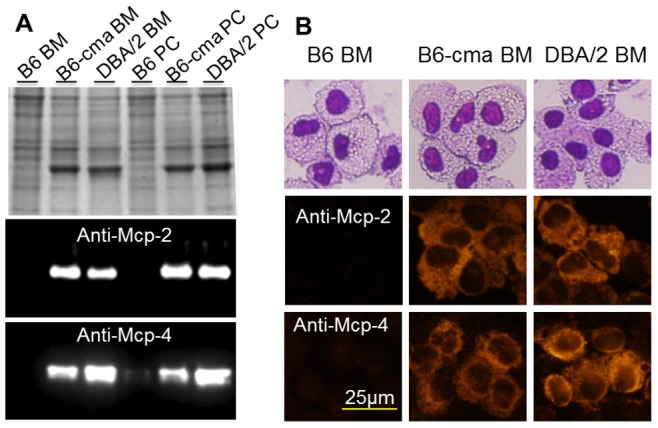 Comparison of Mcp-2 and Mcp-4 protein levels in mast cells from B6, B6-cma, and DBA/2 mice. Mast cells were derived from bone marrow (BM) and peritoneal cavity (PC) of B6, B6-cma, and DBA/2 mice. A. Cell extracts were resolved on 12.5% SDS gels followed by Coomassie blue staining (top panel) or western blotting with indicated antibodies. B. Cells were subjected to Wright-Giemsa staining (top panel) or immunofluorescent staining with indicated antibodies.