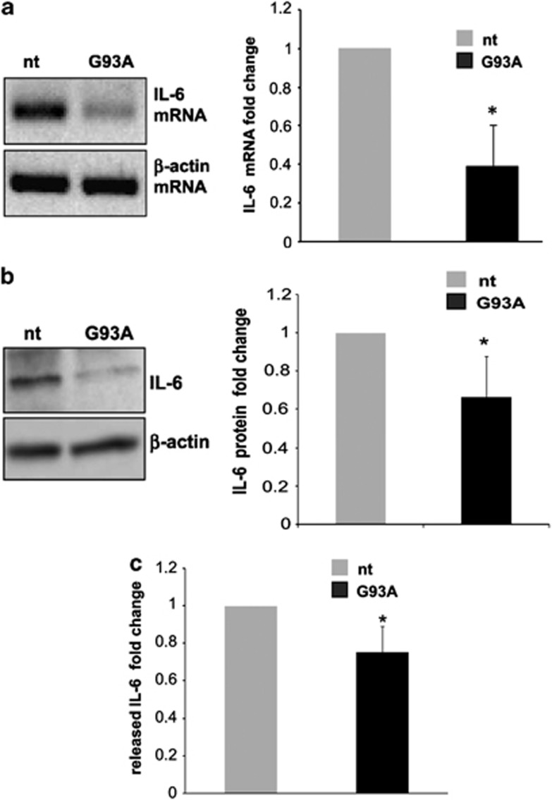 IL-6 downregulation in SOD1-G93A mouse microglia. ( a ) Semiquantitative RT-PCR using specific primers for IL-6 and β -actin mRNAs, on total RNA from nt and SOD1-G93A microglia. β -actin was used for normalization. ( b ) Western blotting with anti-IL-6 antibody on total lysates from nt and SOD1-G93A microglia. β -actin was used for protein normalization. ( c ) IL-6 levels in the culture media of microglia from nt and G93A mice, after 6 h incubation in fresh media, as assessed by ELISA