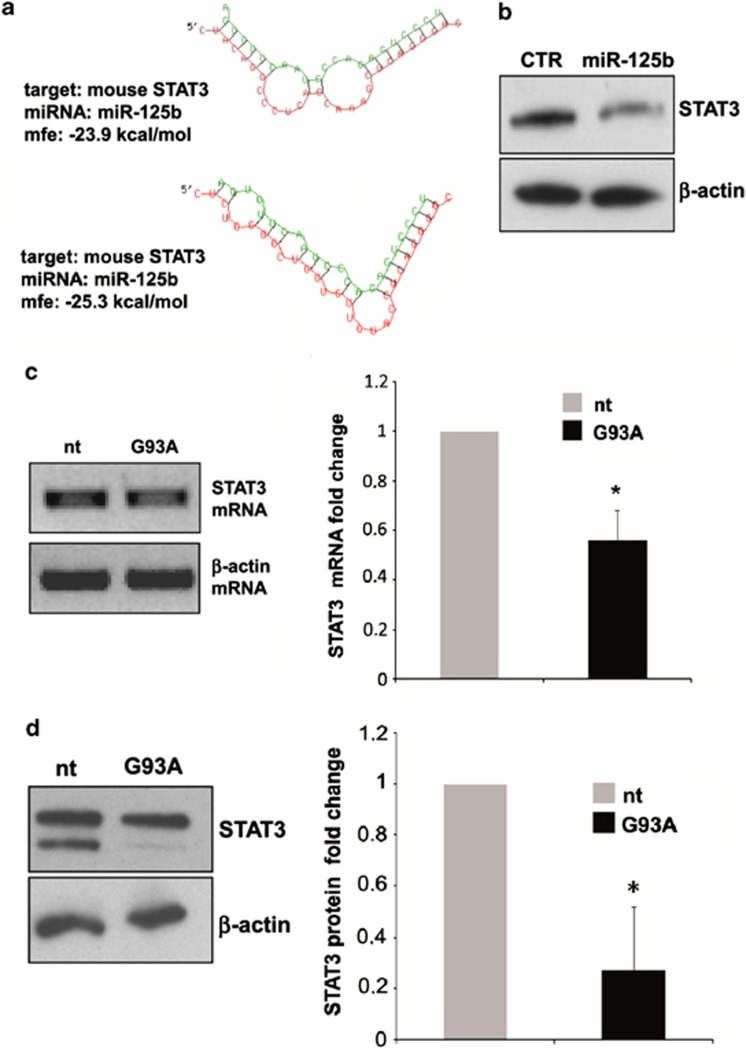 MiR-125b-mediated STAT3 downregulation in SOD1-G93A mouse microglia. ( a ) The two minimum free energy duplexes of miR-125b-5p and 3′-UTR of mouse STAT3 (NM_011486.4) as predicted by <t>RNA</t> hybrid. ( b ) Western blotting with anti-STAT3 antibody of total lysates from empty vector and pprime-miR-125b infected microglia at 96 hours post virus transduction. β -actin was used for protein normalization. ( c ) Semiquantitative <t>RT-PCR</t> using specific primers for STAT3 and β -actin mRNAs of total RNA from nt and SOD1-G93A microglia. β -actin was used for normalization. ( d ) Western blotting with anti-STAT3 antibody of total lysates from nt and SOD1-G93A microglia. β -actin was used for protein normalization