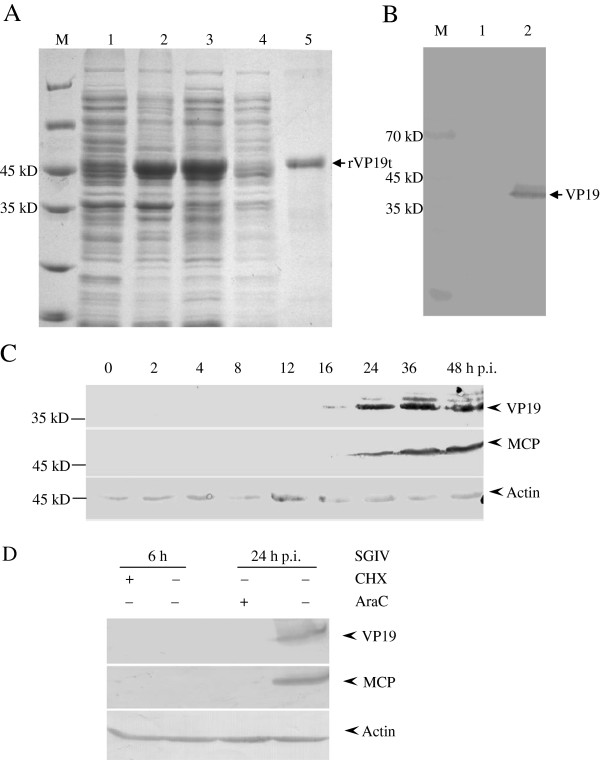 Expression dynamics of SGIV VP19. (A) SDS-PAGE analysis of purified recombinant SGIV VP19. Lines M, 1, 2, 3, 4 and 5 showed protein markers, pET-VP19 (uninduced), pET-VP19 (IPTG induced), supernatant, pellet of induced pET-VP19 and the purified pET-VP19, respectively. (B) The specificity of anti-VP19 serum. SGIV or mock infected cells at 48 h p.i. were collected and centrifuged for SDS-PAGE and western blotting. Line M, 1 and 2 showed protein markers, mock and SGIV infected cells at 48 h p.i., respectively. (C) The expression pattern of VP19 during SGIV infection. Actin was chosen as the internal control. (D) VP19 was identified as a late protein. Cells were infected with SGIV at MOI of 0.5 for 6 h and 24 h under the treatment with CHX or AraC, respectively. Then cells were collected for western blotting analysis. The late protein MCP was chosen as a positive control.