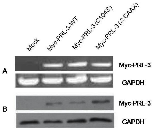 Level of Myc-PRL-3-WT, Myc-PRL-3(C104S), Myc-PRL-3( Δ CAAX) expression in stable BGC823 cell pools. They are detected by RT-PCR (A) and Western blot (B) . Results shown are representative of three independent experiments.