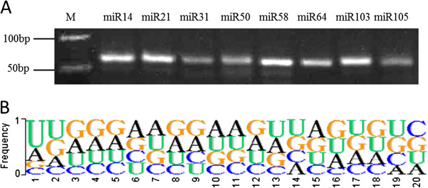 Verification and characteristics of the novel foxtail millet miRNAs (nov-sit-miRNAs). (A) The nov-sit-miRNAs were validated by stem-loop RT-PCR. The RNA used for stem-loop RT-PCR was isolated from shoots (14-day-old). (B) Nucleotide frequency of novel miRNAs.