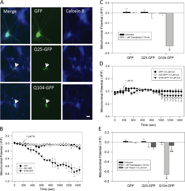 Mitochondrial impairment induced by thapsigargin was prevented by cyclosporine A in neurons that expressed mutant huntingtin. A , representative fluorescence images of cortical neurons loaded with calcein blue AM (Calcein B) and transfected with GFP alone, Q25-GFP (normal huntingtin), or Q104-GFP (mutant huntingtin). Normal and mutant huntingtin expression is indicated by GFP fluorescence intensity (white arrows) and calcein blue staining reveals neuronal morphology. Bar = 10 μm. B , transfected neurons were loaded with MitoRed for determination of mitochondrial potential. Representative trends show that the expression of Q104-GFP significantly reduced mitochondrial potential during treatment with 1 μM thapsigargin (Th). C , quantitation of mitochondrial potential levels showed significant mitochondrial damage in neurons that expressed Q104-GFP. Data correspond to the mean ± S.E.M. of 4 independent experiments. *, p