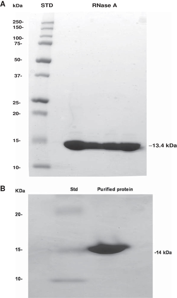 Sodium dodecyl sulfate-polyacrylamide gel electrophoresis of bovine pancreatic and pecan xylem RNase A. (A)  Bovine pancreatic RNase A. Approximately 200μg of protein was loaded. STD: Standard (loaded: 12μl). Numbers in the left and right columns of the figure indicate molecular mass.  (B)  Purified pecan urease. The 14-kDa enzyme has been purified to homogeneity. Numbers in the left column and right side of the figure indicate molecular mass in kDa. The migration distance on the SDS-PAGE gel indicates the size of protein. Std=Protein Standards.
