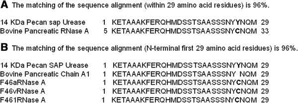 The N-terminal sequence and alignment of 14-kDa pecan sap RNase A with reported proteins. (A) 14-kDa pecan sap RNase A. The matching of the sequence alignment (within 29 amino acid residues) is 96%. (B) Bovine pancreatic RNase A. The matching of the sequence alignment (N-terminal first 29 amino acid residues) is 96%.