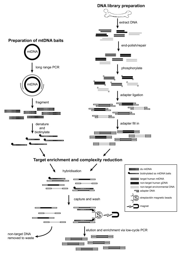 mtDNA hybridisation enrichment protocol. mtDNA baits were prepared using 2 × 8 kb mtDNA long-range PCR products (spanning 16,569 base pairs), generated using a <t>DNA</t> extract from a present-day sample (of a known haplotype) and the Roche LR Expand PCR kit. The products were fragmented by physical shearing to create 200 bp to 600 bp fragments prior to end labelling with biotin. The DNA library was prepared as follows. Damaged DNA leaves 5′ and 3′ overhangs. T4 DNA polymerase was used to polish the DNA by creating blunt ends and T4 PNK phosphorylated 5′ ends, which is required for adaptor ligation. T4 ligase attached universal hybridisation adaptors (Uni-hyb A and Uni-hyb B) to the phosphorylated ends. Klenow polymerase filled in the short-arm adaptor ligation to create double-stranded adaptors (through the use of deoxyribonucleotide triphosphates - dNTPs). Adaptor complementary primers and Taq polymerase amplified the entire library to immortalise the sample. Single-stranded probe DNA was mixed with single-stranded library DNA and left to hybridise overnight (in the presence of blocking oligos). Biotinylated probe and bound library DNA were fixed to streptavidin beads on a magnetic rack, and non-specific or weakly bound library DNA was washed away through a series of three stringency washes (by increasing temperature and decreasing salt concentration) from the library–probe–streptavidin interaction. The single-stranded library DNA was converted to double stranded DNA and eluted from the probe–streptavidin interaction using the <t>Bst</t> strand-displacing enzyme (in the presence of dNTPs). Bst recognises nicks in the template and displaces library DNA into solution. Probe DNA remained bound to the magnet. Eluted library DNA was enriched through low cycle PCR, using adaptor complementary primers. Library DNA was then prepared for next-generation sequencing. mtDNA, mitochondrial DNA; PCR, polymerase chain reaction.