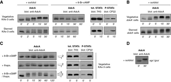 Effect of various mutants and addition of 8-Br-cAMP, 8-Br-cGMP and thapsigargin on AdcA phosphorylation. A . AdcA is not phosphorylated in response to 8-Br-cAMP. Vegetative or 4 h-starved cells in KK2 buffer (16.5 mM KH 2 PO 4 , 3.8 mM K 2 HPO 4 , pH 6.2) were treated with 20 mM 8-Br-cAMP or 200 mM sorbitol. B . AdcA is not dependent on DokA. dokA null cells kept in nutritive medium or starved for 4 h in KK2 buffer were treated with 200 mM sorbitol. C . AdcA is partly phosphorylated in response to a combination of 8-Br-cGMP and thapsigargin. Vegetative KAx-3 cells were treated with 20 mM 8-Br-cGMP, 10 μM thapsigargin or a mix of 8-Br-cGMP/thapsigargin. D . The response of AdcA is not affected in sgc / gca double null mutant. The sgc/gca null strain disrupted for the 2 guanylate cyclases sGC and GCA were subjected to 200 mM sorbitol. In all tested conditions, the response of AdcA was followed by Western blot using anti-AdcA antibodies (A, B, C and D) . The phosphorylation of STATc in the same conditions was detected using the 3H7 and CP22 antibodies and was used as a positive control of cell responsiveness (A and C) .