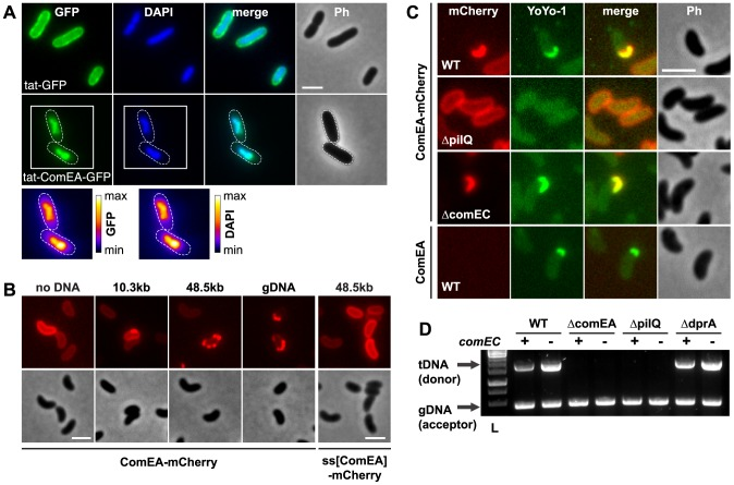 ComEA binds to DNA in vivo . (A) Plasmid-encoded gfp (tat-GFP) or comEA-gfp (tat-ComEA-GFP), both preceded by a tat-signal sequence, were expressed in E. coli . The images shown correspond to the GFP channel, DAPI channel (to visualize DAPI-stained DNA), merged fluorescent images (merge), and phase contrast (Ph). The cells are outlined with dashed lines for tat-ComEA-GFP. Heat-maps showing the fluorescence intensities of the GFP and DAPI signals are depicted for the tat-comEA-gfp expressing cells below the images. (B) ComEA-mCherry aggregation and foci formation after the addition of external DNA. Competence-induced cells without (no DNA) or with external DNA were imaged in the red (mCherry; upper row) or the phase contrast channel (lower row) to visualize ComEA-mCherry localization. The DNA fragments differed in lengths (PCR fragment, 10.3 kb; λDNA, 48.5 kb; gDNA, various lengths). Transforming DNA did not lead to foci formation of periplasmic mCherry alone (preceded by the ComEA signal sequence; ss[ComEA]-mCherry). (C) Colocalization (merged image) of ComEA-mCherry (red channel) and YoYo-1-stained transforming DNA (green channel). The outline of the cells is shown in the phase contrast image (Ph). Scale bars in all images, 2 µm. (D) DNA uptake requires ComEA. DNA uptake of competent V. cholerae cells was tested using a whole-cell duplex PCR assay. All mutant strains were tested in a comEC positive (+) and negative (−) background. The lower PCR fragments indicate acceptor strain DNA (gDNA, acceptor); the upper band indicates internalized transforming DNA (tDNA). L, ladder.