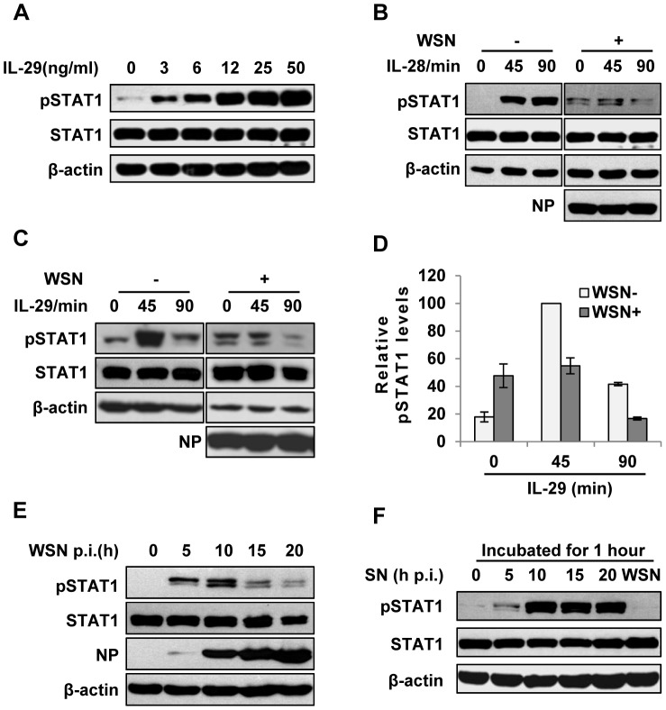 IAV inhibits IL-29-induced STAT1 phosphorylation in A549 cells. ( A ) A549 cells were treated with IL-29 at final concentration of 3, 6, 12, 25, and 50 ng/ml for 45 min, followed by immunoblotting with indicated antibodies. ( B, C ) A549 cells infected with WSN (MOI = 1) for 15 h (WSN+) or non-infected (WSN−) were stimulated with human IL-28A (B) or IL-29 (50 ng/ml) (C) for indicated time. Cell lysates were analyzed by Western blotting using indicated antibodies. ( D ) Levels of phosphorylated STAT1 in (C) were quantitated by densitometry, and normalized to STAT1 expression and control β-actin levels. In each experiment, the highest level of STAT1 phosphorylation is 100. Plotted are the average levels from three independent experiments. The error bars represent the S.E. ( E ) A549 cells were infected with WSN (MOI = 1), lysed at the 0, 5, 10, 15 and 20 h p.i., and analyzed by Western blotting using indicated antibodies. ( F ) A549 cells were either stimulated by supernatant (SN) culture medium from IAV-infected cells in (E) or infected with WSN for 1 h, followed by Western blotting with indicated antibodies.