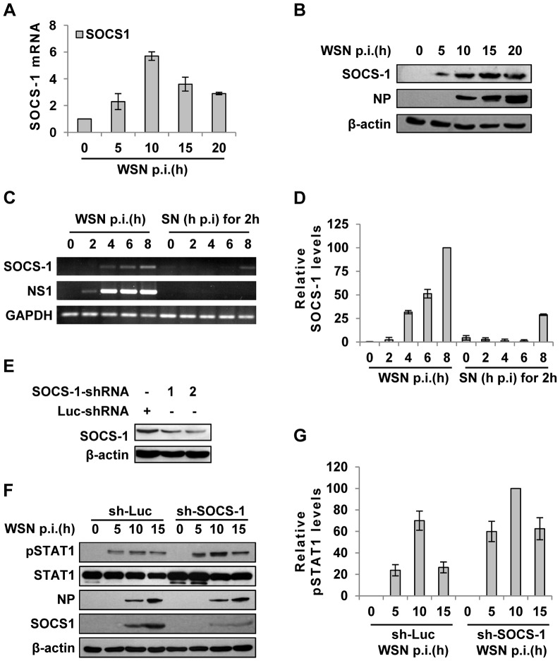 IAV infection induces robust expression of SOCS-1, resulting in decreased phosphorylation of STAT1. ( A ) Quantitative real-time RT-PCR was performed to examine the expression of SOCS-1 in A549 infected with WSN for indicated time. ( B ) Lysates from cells in (A) were analyzed for the protein levels of SOCS-1, as detected by Western blotting with indicated antibodies. ( C ) A549 cells were infected by WSN for indicated time. Supernatants (SN) derived from these cells were used to stimulate the native A549 for 2 h. Both infected cells and supernatants-stimulated cells were lysed and analyzed for SOCS-1 expression by RT-PCR. ( D ) SOCS-1 levels in (C) were quantitated by densitometry, and normalized to GAPDH levels as described in Figure 2D . Plotted are the average levels from three independent experiments. The error bars represent the S.E. ( E ) A549 cells expressing shRNAs targeting either SOCS-1 or control luciferase (Luc) were infected with WSN for 15 h. Western blotting was performed to determine the interference efficiency. Treatment with SOCS-1-shRNA#2 caused approximately 75% reduction in SOCS-1 expression quantitated by densitometry. Thus, SOCS-1-shRNA#2 was used in this study. ( F ) SOCS-1-ablated or control A549 cells were infected with WSN for the indicated time. Cell lysates were analyzed by Western blot probed with the antibodies as indicated. ( G ) Levels of phosphorylated STAT1 in (F) were quantitated by densitometry, and normalized to control β-actin levels as described in Figure 2D . Plotted are the average levels from three independent experiments. The error bars represent the S.E.