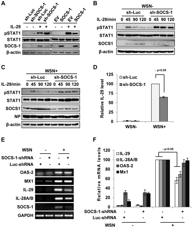 Inhibition of cytokine-mediated STAT1 activation by SOCS-1 contributes to overproduction of IFN-λ during IAV infection. ( A ) A549 cells expressing SOCS-1, empty vector (EV) or shRNAs targeting SOCS-1 or luciferase (Luc) were treated with or without IL-29 (50 ng/ml) for 45 min. Cell lysates were analyzed by Western blotting using indicated antibodies. ( B, C ) Luc or SOCS-1 knockdown A549 cells were infected without (B) or with (C) WSN virus for 15 h and then treated with IL-29 for indicated time. Shown are immunoblots of the cell lysates probed with indicated antibodies. ( D, E ) SOCS-1-ablated or control A549 cells were infected with or without WSN virus for 15 h. Subsequently, IL-29 levels in the supernatants from the cell culture were examined by ELISA. IL-29 levels produced by infected control cells were set to 100%. Plotted are the average results from three independent experiments and the error bars represent the S.E. (D). mRNA levels of OAS-2, Mx1, IL-28A/B, and IL-29 were examined by RT-PCR (E). ( F ) Levels of these mRNAs in (E) were quantitated by densitometry, and normalized to GAPDH levels as described in Figure 2D . mRNA level in infected control cells is 100. Plotted are the average results from three independent experiments. The error bars represent the S.E. Statistical significance of change was determined by Student's t-test (*P