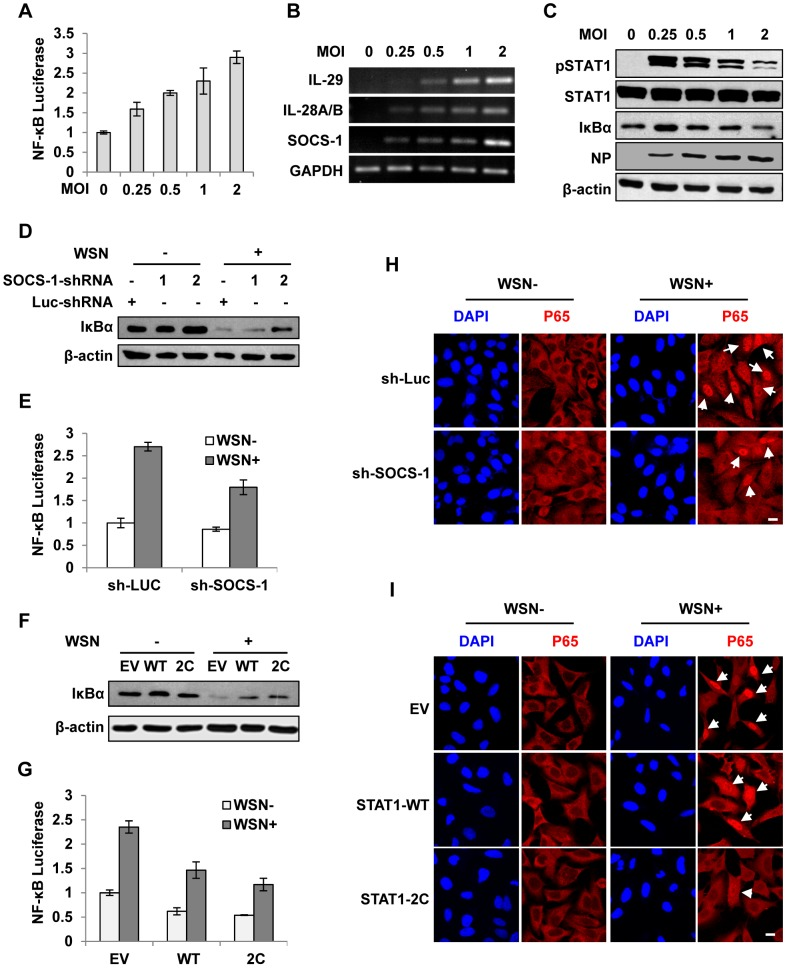 Disruption of cytokine signaling pathway results in robust activation of NF-κB during IAV infection. ( A ) 293T cells were co-transfected with pNF-κB-Luc and pRL-TK for 10 h and then infected with WSN virus at indicated MOI for 15 h. Luciferase activity in cell lysates was measured and displayed as the mean ± SD of relative luciferase units normalized to Renilla luciferase activity from three independent experiments. ( B, C ) A549 cells were infected with WSN virus as described in (A). RT-PCR was performed to examine the expression of indicated genes (B), and Western blotting was performed using indicated antibodies (C). ( D ) A549 cells expressing shRNAs targeting SOCS-1 or luciferase were infected with or without WSN virus for 15 h, followed by Western blotting with indicated antibodies. ( E ) 293T cells were co-transfected with pNF-κB-Luc, pRL-TK and either SOCS-1 shRNA expressing vector or control for 10 h and then infected with WSN virus for 15 h. Luciferase activity was analyzed as described in (A). ( F ) A549 cells expressing STAT1-WT, STAT1-2C or control were infected with or without WSN virus and analyzed by Western blotting with indicated antibodies. ( G ) Experiments were carried out as described in (E). Shown are results from experiments using cells expressing STAT1-WT, STAT1-2C or control. ( H ) A549 cells stably expressing SOCS-1 shRNA or control were infected with or without WSN virus for 15 h. Immunofluorescence staining was performed using an anti-p65 antibody to detect translocation of NF-κB. The nuclei were stained with DAPI. Bar, 10 µm. ( I ) Experiments were carried out as described in (H). Shown are results from experiments using cells expressing STAT1-WT, STAT1-2C or control. Bar, 10 µm.