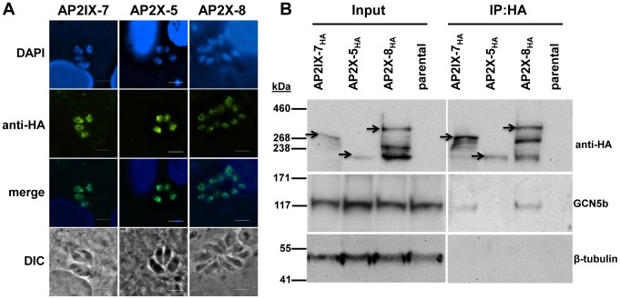 Reciprocal immunoprecipitation confirms the in vivo interaction of GCN5b with endogenously HA-tagged AP2IX-7 and AP2X-8. A. IFAs showing localization of each AP2 to the parasite nucleus. Anti-HA (green) shows localization of designate HA-tagged AP2 protein; DAPI (blue) co-stains the nuclei. B. Immunoprecipitations using an anti-HA antibody were performed on parasite lysates made from AP2IX-7 HA , AP2X-8 HA , and AP2X-5 HA parasites, as well as the parental RHΔ ku80 line. The immunoprecipitated complexes were analyzed by Western blot using antibodies recognizing anti-HA, GCN5b, or β-tubulin. Arrowheads designate the expected size of each tagged AP2 protein (these AP2 proteins are very large and various breakdown products were observed in the different conditions used to process lysates versus IPs).
