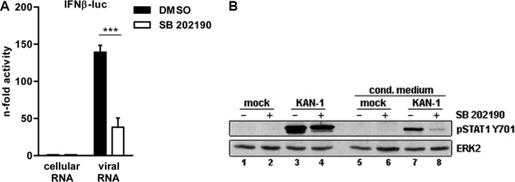 p38 MAPK inhibition affects H5N1-induced IFN expression. A, impact of p38 MAPK inhibition on the IFNβ promoter activity. Vero cells were transfected with the IFNβ promoter for 24 h. Cells were preincubated with 20 μ m SB 202190 or left untreated and subsequently stimulated with 500 ng of total RNA isolated from infected A549 cells (8 h, 5 m.o.i.). Total RNA from uninfected A549 cells was used as control. 5 h p.s. promoter activity was measured by a luciferase assay and the results are depicted as mean n -fold (± S.D.) of three independent experiments normalized to controls. B, Western blot analysis of total lysates of HUVEC treated with UV-inactivated, filtered conditioned media from mock-infected control cells ( lanes 5 and 7 ) and KAN-1-infected cells (5 m.o.i., 5 h) ( lanes 6 and 8 ). Donor cells were pretreated with DMSO ( lanes 1 and 3 ) or SB 202190 (20 μ m , lanes 2 and 4 ). STAT1 Tyr 701 phosphorylation was detected 15 min after treatment with conditioned medium ( upper panel ). Equal loading was verified by the detection of total ERK2 ( lower panel ). Blots are representative of three independent experiments.