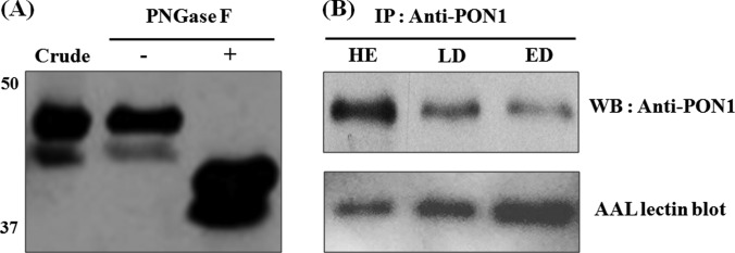PON1 protein in the sera of the patients with SCLC is highly reactive with fucose-binding lectin. A, serum samples treated with or without PNGase F were analyzed by immunoblotting using a PON1 antibody. The PNGase F treatment reduced the size of the PON1 protein, indicating that the PON1 protein was N -linked glycosylated. Crude , five pooled HE crude sera; −, PNGase F-untreated crude sample; +, PNGase F-treated crude sample. B, comparison of the fucosylation levels of PON1 in the HE, LD, and ED samples. Upper panel, after the immunoprecipitation and purification of PON1 from the depleted serum samples, the same volumes of eluted protein were subjected to SDS-PAGE (12% gel), followed by Western blotting analysis using anti-PON1 antibody. Lower panel, reblotting of the same membrane using biotinylated AAL, followed by HRP-conjugated streptavidin for the detection of the levels of fucosylated PON1 protein.
