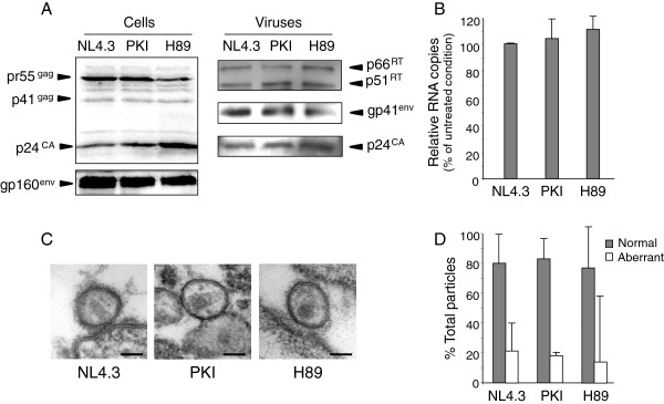 Characterization of PKI-NL4.3 and H89-NL4.3 viral particles. (A) 293T cells expressing HIV-1 NL4.3 were maintained in the presence of medium alone or supplemented with Myr-PKI (PKI) or H89 inhibitors. Normalized amounts of cells lysates (left panel) or sucrose cushion purified viruses (right panel) were sequentially probed with rabbit anti-RT or anti-gp41 sera or anti-p24 mAbs. (B) Genomic RNA in viral particles was quantified by qRT-PCR. Values are expressed as percentages of NL4.3 values ± SD. (C) NL4.3, PKI-NL4.3 and H89-NL4.3 viral particles were imaged by electron microscopy. Bar = 100 nm. (D) The number of fully mature and aberrant viruses was counted in each sample and expressed as a percentage of total observation (NL4.3 n = 57; PKI-NL4.3 n = 105; H89-NL4.3 n = 18). Error bars represent 95% confidence intervals.