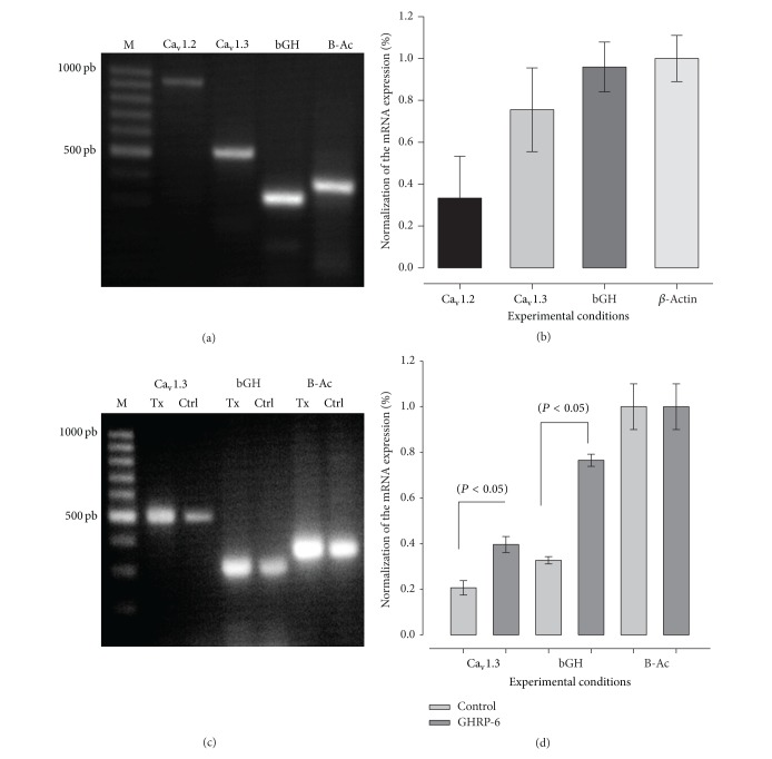 Expression of L-type Ca 2+ channel α 1 subunits mRNA in bovine somatotropes. (a) Electrophoresis of L-type Ca 2+ channel a 1.2 and 1.3 subunits mRNA, bGH, and β -actin (B-Ac). (b) Summary of three independent experiments; the principal subunit expressed is 1.3. (c) Electrophoresis of somatotropes cells treated by GHRP-6 100 nM for 48 h. (d) Summary of three independent experiments; GHRP-6 increases the mRNA for HVA calcium channels L-type 1.3 and the mRNA for bGH.