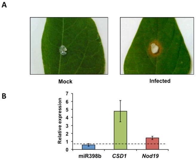 Expression pattern of miR398b and target genes CSD1 and Nod19 in common bean leaves infected with Sclerotinia sclerotiorum . (A) Mock (left) or S. sclerotiorum infected (right) common bean leaves after 24 h. (B) Relative expression of miR398b (blue) and of target genes CSD1 (green) and Nod19 (red) determined by qRT-PCR; values were normalized to the value from mock that was set to 1 as indicated with a dashed line.