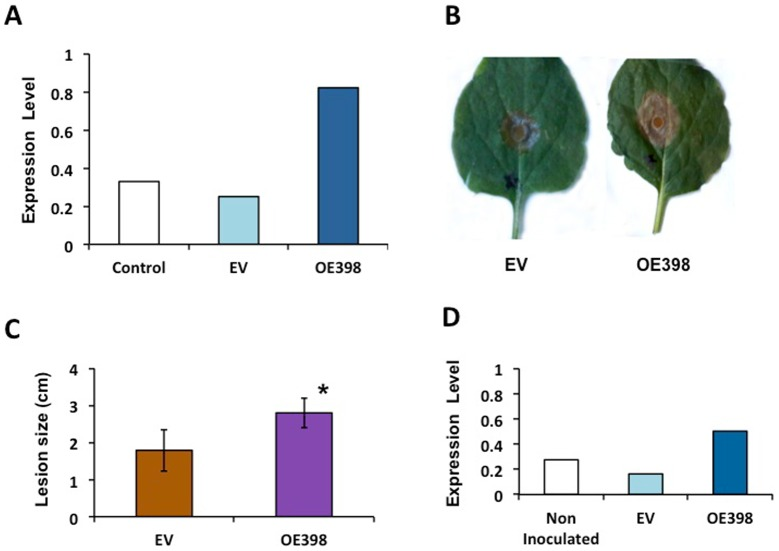 Effect of miR398b transient over-expression in Nicotiana benthamiana leaves infected with Sclerotinia sclerotiorum . N. benthamiana leaves were infiltrated with water (Control) or with A. tumefaciens bearing EV or OE398 plasmids and miR398b expression level was determined 3d after infiltration (A) . Subsequently, infiltrated leaves (EV or OE398) were inoculated with S. sclerotiorum . Characteristic fungal lesions (B) quantified by measuring the infection halo; asterisk: Student's t test, P ≤0.01 (C) and miR398b expression levels determined by qRT-PCR (D) at 48 h after fungal infection.