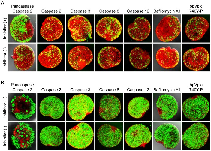 Oocyte apoptosis in Figla null ovary is caspase dependent. Newborn ovary pairs from Figla null (A) and normal mice (B) were cultured in vitro with or without 100 µM caspase inhibitors (pan caspase: Z-VAD-fmk; caspase 2: Z-VDVAD-fmk; caspase 3: Z-DEVD-fmk; caspase 8: Z-IETD-fmk; caspase 12: Z-ATAD-fmk), 2 µM Bafilomycin A1, or 100 µM bpV(pic) plus 500 µg/mL <t>740Y-P</t> for 2 (except for pancaspase which was for 7) days at 37 °C. (A) Oocyte loss in Figla null ovaries was significantly inhibited in the presence of the pancaspase inhibitor and to a lesser extent with inhibitor for caspase 8 and 3. (B) The presence of inhibitors did not morphologically or physiologically affect normal oocytes. In these assays, only ovary pairs with comparable numbers of healthy oocytes were selected for in vitro culture. The hilum of each ovary was juxtaposed on the filter (Fig. 1D) and images were obtained by laser scanning confocal microscopy from the opposite side of the ovary. Z projections of EGFP fluorescence intensity were collapsed into a single plane to visualize the number of germ cells before and after treatment with inhibitors. Scale bar, 100 µm.